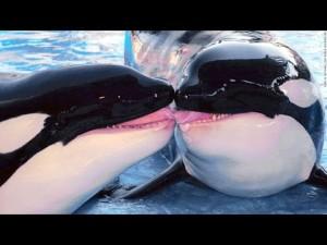 killer whale kiss